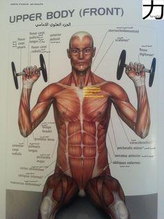اسماء العضلات الامامية