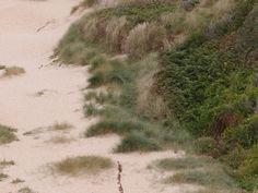 duveteux : La photo est venue comme cest : cette vgtation de dunes, au nord du cap de Carteret a quelque chose  lil de duveteux. Quand le vent souffle dlicatement, cest beau et attirant, comme un appel  des caresses.  [vendredi 16 aot 2013 13:03 Carteret, vers le phare, Manche]   gilda_f