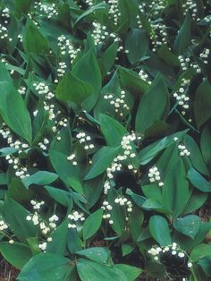 Lily-of-the-valley is one of the best plants for light shade, with its white, sweetly scented flowers set against shapely leaves. 'Albostriata' is eye-catching because of its white-striped leaves; 'Hardwick Hall' has creamy to yellow-edged leaves.