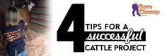4 Tips for Starting a Successful Cattle Project - VitaFerm Guinea Pig Care, Guinea Pigs, Show Cows, Pig Showing, Raising Cattle, Livestock Farming, Teacup Pigs, Show Cattle, Showing Livestock