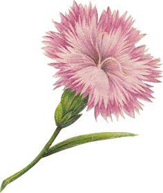 MeinLilaPark – digital freebies: free digital vintage flower scrapbooking paper and embellishment – carnation and banner png – Vintage Blume Clipart – freebie