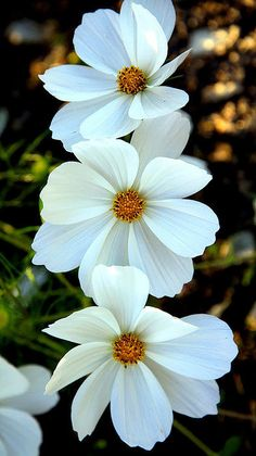 Three White Cosmo Flowers Print By Steve Mckinzie