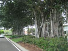 Fig trees, the Strand, Townsville Qld