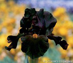 Awakening Embers | Tall Bearded Iris