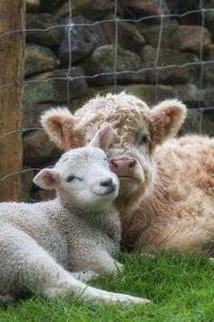 hughhighlander:  moo baby, baaah baby, best friends. img via love highlands. hugh highlander highland cow