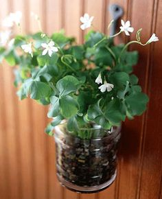 shamrock-lucky-clover-oxalis-wall-decorating-ideas.gif