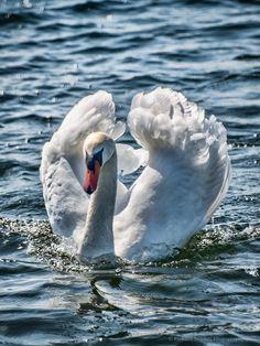 Swan Ruff - Mute Swan, Millom, Cumbria.