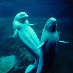 Belugas whales are typically found in Arctic waters. They are well adapted to their icy environment, with a five-inch-thick layer of blubber!  #whales #beluga #belugawhale #SonicSea
