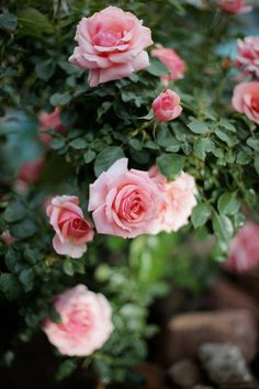#pink #roses | by emily faulstich