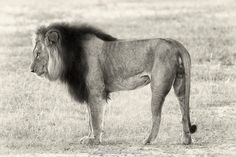 Male African Lion side view