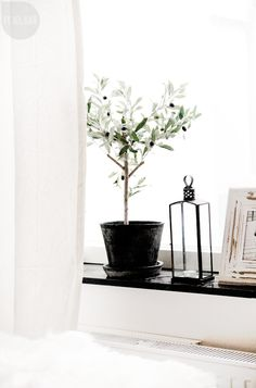 olive tree in the window