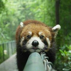 Funny pictures about Baby red panda is too tired. Oh, and cool pics about Baby red panda is too tired. Also, Baby red panda is too tired. Animals And Pets, Baby Animals, Funny Animals, Cute Animals, Weird Pictures, Animal Pictures, Dog Pictures, The Chainsmokers Paris, Beautiful Creatures
