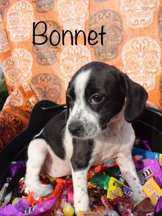 English Toy Spaniel dog for Adoption in Newport, KY. ADN-702213 on PuppyFinder.com Gender: Female. Age: Baby