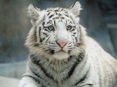 白虎 - Google 検索