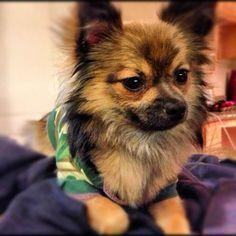 Lola the pomchi