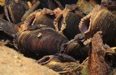 Native British freshwater pearl mussels (margaritifera margaritifera)