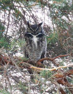 Great Horned Owl Walla Walla, Washington