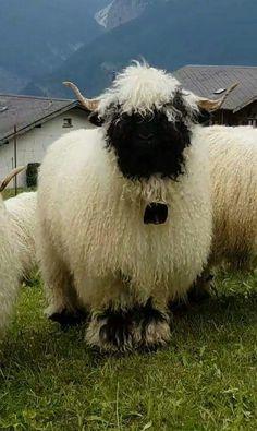 Homestead Ideas added a new photo. Farm Animals, Animals And Pets, Cute Animals, Crazy Cat Lady, Crazy Cats, Valais Blacknose Sheep, Black Faced Sheep, Cute Sheep, Farm Life