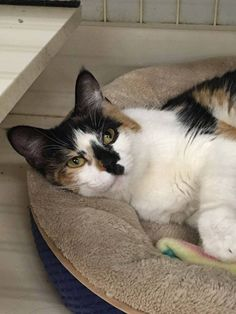 Henna is a 9 month old female available for adoption at Petco Fridley. She is extremely verbal! She is unsure of other cats. Her adoption fee is $145.