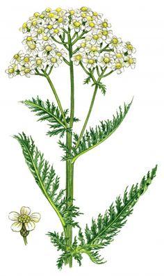 Рисунки растений и трав от ArtVille часть IL076. Herbs (60 работ) ТЫСЯЧЕЛИСТНИК