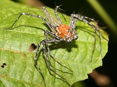 Lynx Spider - I love spiders!  They are one of nature's greatest masterpiece.