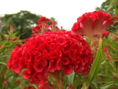 Cockscomb are annual flowering plants grown from seed that bloom in the summer. Their unusual flowers are ruffled and crenelated like oblong carnations but velvety like a brightly-colored lambs ear. C...