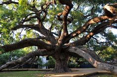The treaty oak in Jacksonville, Florida.