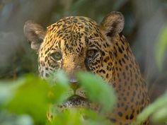 jaguar at Manu National Park - Peru