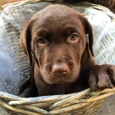 Day 50. Puppy in a basket. .#instapet #pet #puppy #puppies #chocolatelab #chocolateworld #chocolatepuppies #chocolatelabrador #labpuppy #lab #lablove #worldoflabs #worldofpuppies #puppiesofinstagram #pupoylove #fab_labs #fabulous #chocolateoftheday #instagram #instapic #instapet #talesofalab by labradors4life