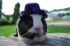 guineapig.  I need hats for my pigs!!!!!!