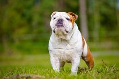 Bulldog - Health, History, Appearance, Temperament & Maintenance