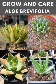 Learn how to grow and care for the aloe brevifolia. Types Of Succulents, Succulent Care, Aloe, Plants, Plant, Planets, Aloe Vera