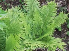 Monrovia's The King Ostrich Fern details and information. Learn more about Monrovia plants and best practices for best possible plant performance. Shade Garden Plants, House Plants, Backyard Plants, Backyard Fences, Backyard Ideas, Amazing Gardens, Beautiful Gardens, Shade Landscaping, Landscaping Ideas
