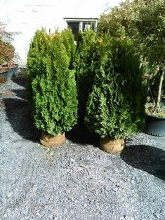 How to plant Emerald Green Arborvitae privacy trees (distance, etc) Arborvitae Landscaping, Privacy Fence Landscaping, Privacy Trees, Planting Shrubs, Landscaping Plants, Landscaping Ideas, Privacy Hedge, Outdoor Privacy, Backyard Privacy