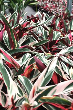 Stromanthe sanguinea 'Tricolour' - Brighten up dull corners of your garden with this dramatically coloured Stromanthe. Dark green leaves with white variegations and pink undersides of the leaves. A great landscaping plant or indoor pot plant. Leafy Plants, Colorful Plants, Foliage Plants, Indoor Plants, Gnome Garden, Garden Trees, Ginger Plant Flower, Perfect Plants, Hardy Plants