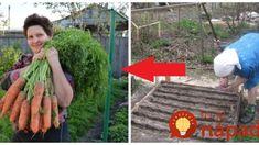 Na záhrade majú každý rok obrovskú úrodu mrkvy: Držte sa tejto rady pri vysievaní a podarí sa to aj vám!