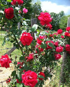 My climbing rose bush - kathyb