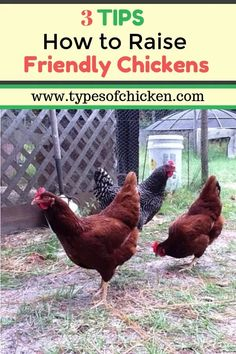 Tips On How To Raise Friendly Chickens! You will be surprised with Number 2!!! Types Of Chickens, Raising Backyard Chickens, Keeping Chickens, Pet Chickens, Urban Chickens, How To Raise Chickens, Fancy Chickens, Building A Chicken Coop, Diy Chicken Coop