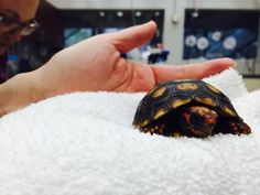 No matter what species, baby animals are always cute!  This baby redfoot tortoise was in seeing our Avian & Exotics department for a wellness exam - he passed with flying colors!  #portraitofatortoise #babyanimals #allthecuteness #GCVS