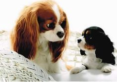 Looks like my Cavalier, Winston (the Tri-Color) and his mom (the Blenheim).