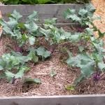 Crop rotation schedule for raised veggie beds