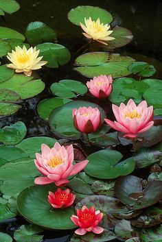 Beautiful water lillies