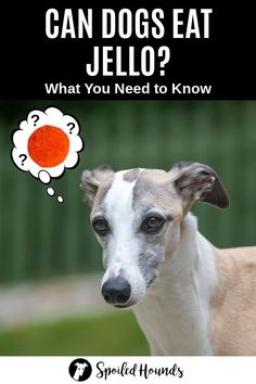 Can dogs eat Jello? Keep your dog safe and find out what you need to know about dogs eating Jello and gelatin. #dogsafety #doghealth #dogs #doglovers #doginformation #dogownertips #pethealth #jello #gelatin Pet Nutrition, Animal Nutrition, Dog House Kit, Dog Food Delivery, Jello Gelatin, Dog Information, Wet Dog Food, Can Dogs Eat, Dog Safety