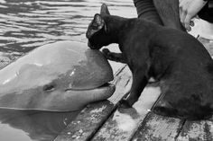 Funny pictures about Cat kissing a baby beluga whale. Oh, and cool pics about Cat kissing a baby beluga whale. Also, Cat kissing a baby beluga whale. Especie Animal, Amor Animal, Animal Hugs, Baby Animals, Funny Animals, Cute Animals, Animal Memes, Wild Animals, Animal Antics