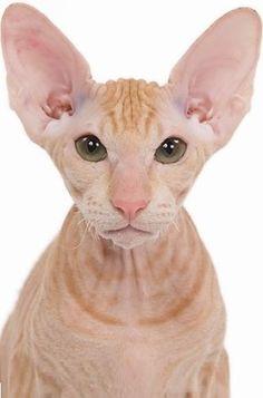 The Peterbald cat is a very new breed developed in 1994 when a breeder in St. Petersburg, Russia crossed a Don Sphynx cat with an Oriental Shorthair cat.