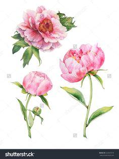 Set of watercolor pink peonies