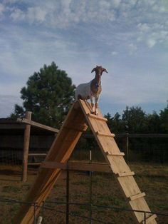Goat Farming: Getting Back to Basics - Tools And Tricks Club Mini Goats, Baby Goats, Backyard Farming, Chickens Backyard, Goat Feeder, Goat Playground, Goat Toys, Goat Shelter, Goat Pen