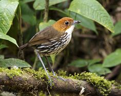 The Chestnut-crowned Antpitta (Grallaria ruficapilla) is one of the better known and more colorful of the Antpittas. This species is found in an extensive range from Venezuela and Colombia south to Ecuador and Peru. It is also less shy and somewhat tolerant of human activity therefore more easily encountered than the other Antpittas  that we saw on this trip.  This image was taken at Reserva Ecologica Rio Blanco in Manizales, Caldas, Colombia.