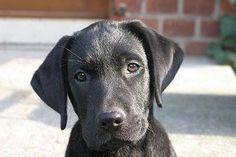How to Potty Train a Labrador Puppy (6 Steps)   eHow