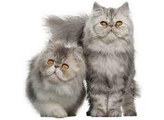 Risultati immagini per gatti persiani bianchi con occhi azzurri